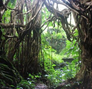 The hidden live bridges of Bougainville