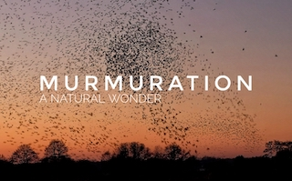 The Starling Murmuration | A Natural Wonder on the Somerset Levels